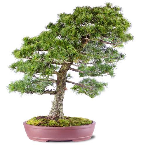 Japanese Five Needle Pine - ST2020FNP