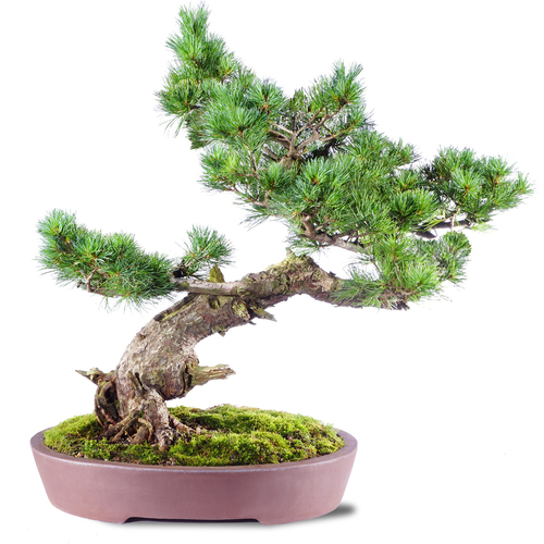 Japanese Five Needle Pine - ST2520FNP