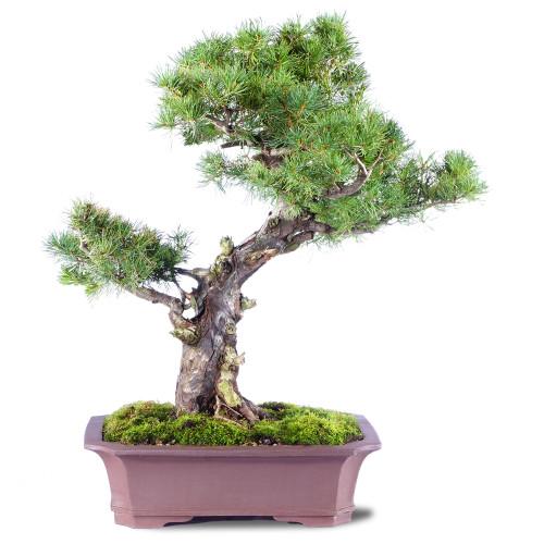 Japanese Five Needle Pine - ST2620FNP