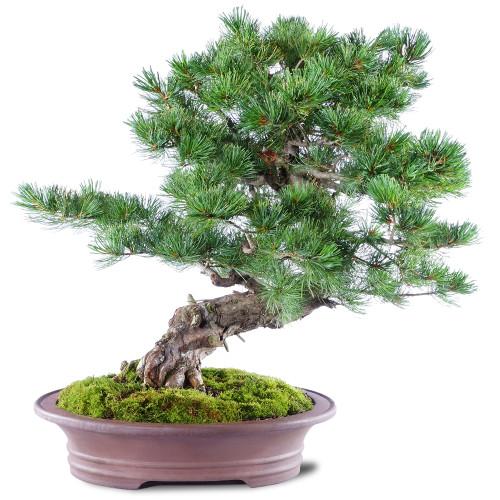 Japanese Five Needle Pine - ST2720FNP