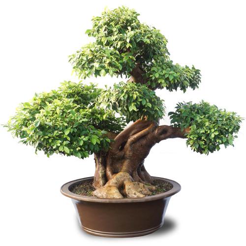 Ficus Retusa - ST2016FR