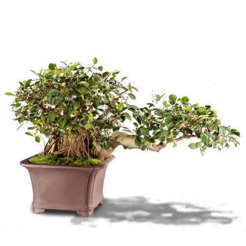 Ficus Retusa - ST4215FR-Y