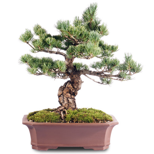Japanese Five Needle Pine - ST2318FNP-J
