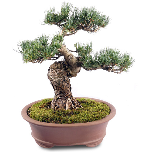 Japanese Five Needle Pine - ST2218FNP-R
