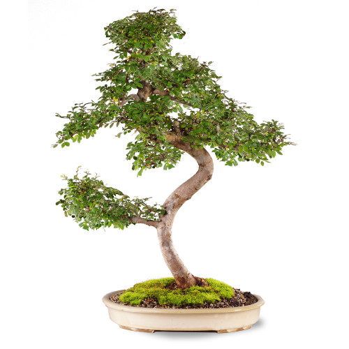 Chinese Elm - ST0221CE-C