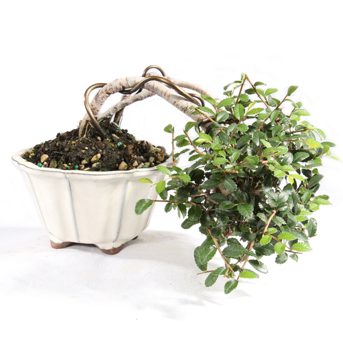Chinese Elm - ST5221CE-EE