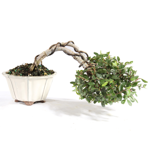 Chinese Elm - ST5221CE-W