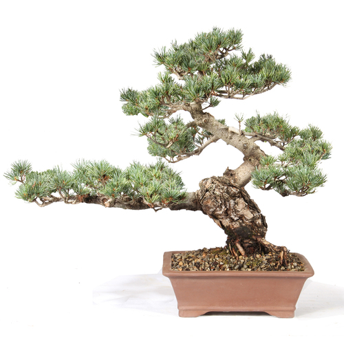 Japanese Five Needle Pine - ST0621FNP-I