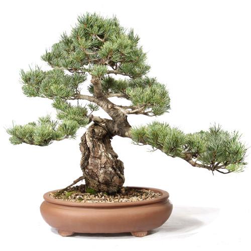 Japanese Five Needle Pine - ST0721FNP-C