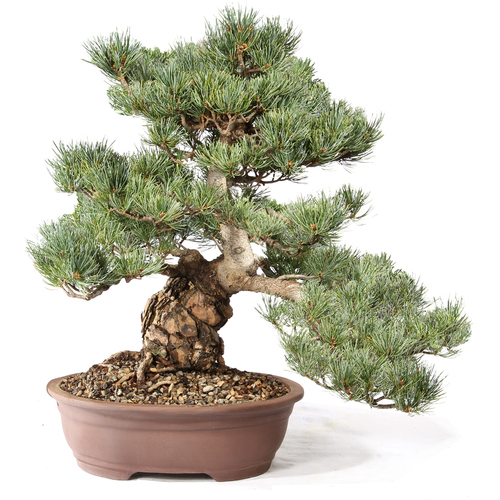 Japanese Five Needle Pine - ST0721FNP-K