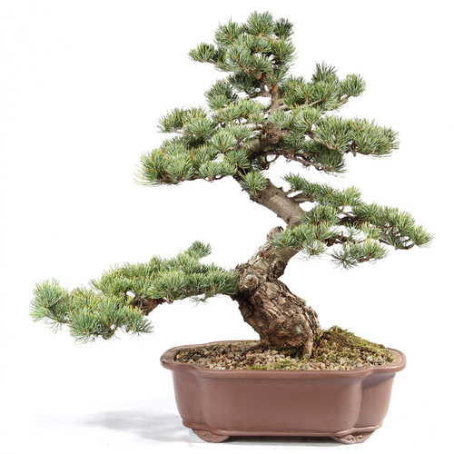 Japanese Five Needle Pine - ST0821FNP-A
