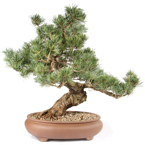 Japanese Five Needle Pine - ST0821FNP-O