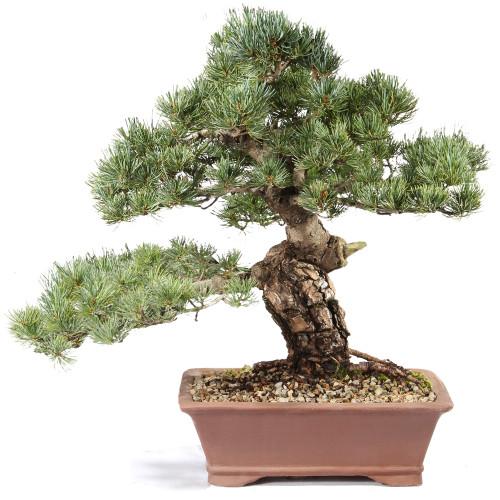 Japanese Five Needle Pine - ST0821FNP-Q