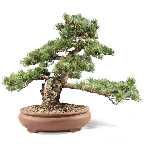 Japanese Five Needle Pine - ST0821FNP-T