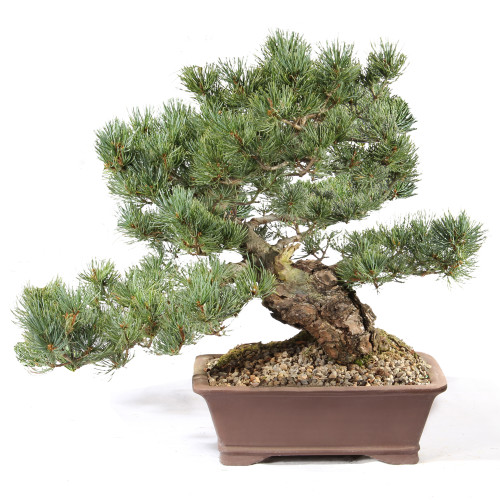 Japanese Five Needle Pine - ST0821FNP-Z