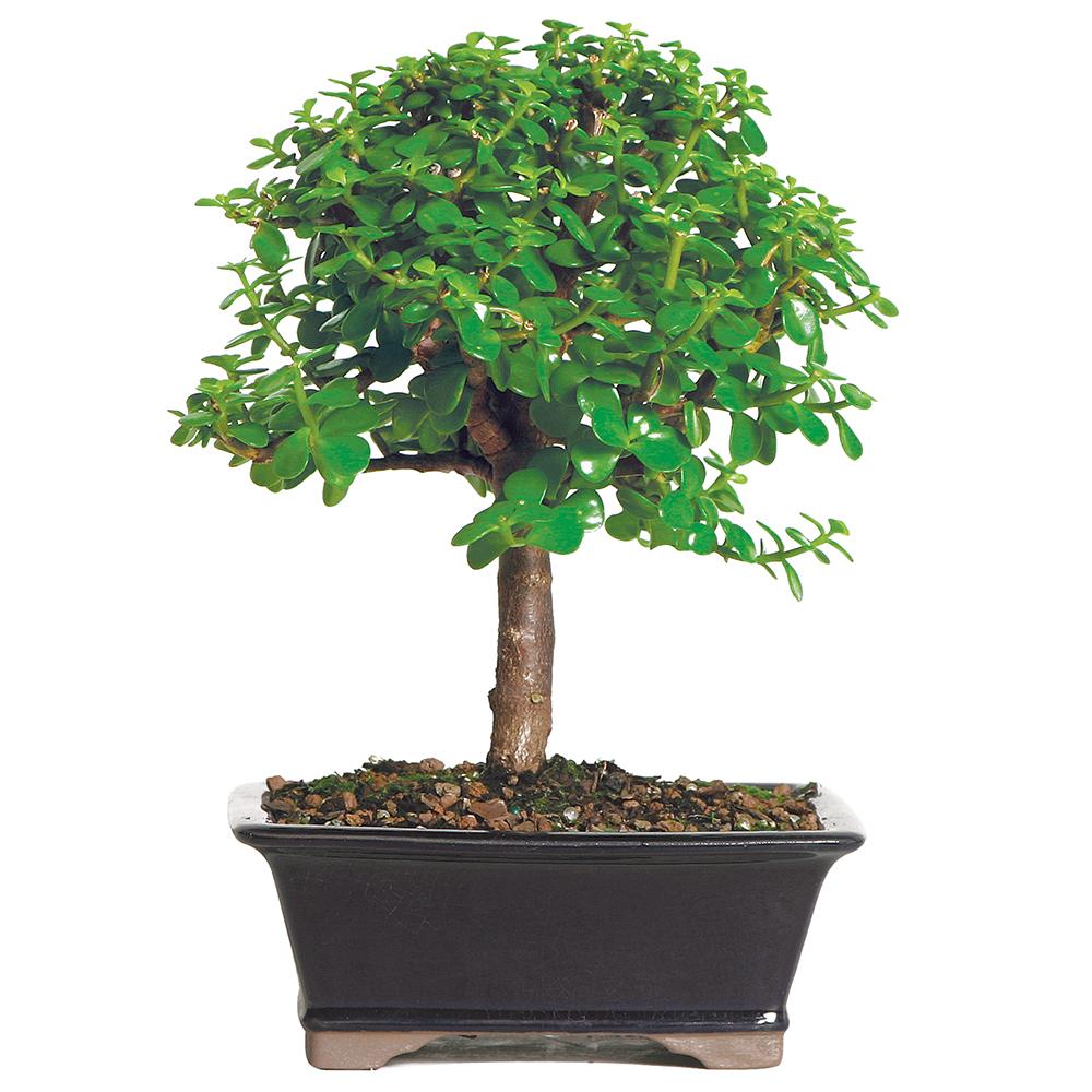 "6pcs 8"" Long Dwarf Jade Bonsai Portulacaria Succulent Bonsai Shipped Tightroot"