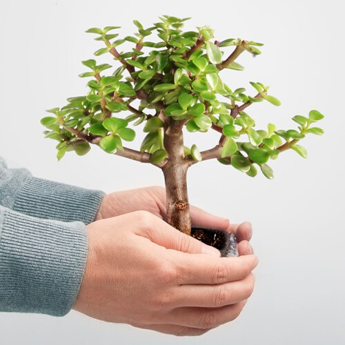 bonsai-beginner