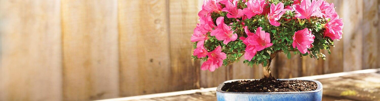 azalea-bonsai-slider-1
