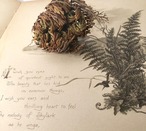 The rose of Jericho.