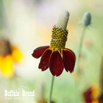 Upright Prairie Coneflower (Mexican Hat)