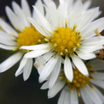 White Heath Aster Credit: Frank Mayfield  via Flickr creative commons commercial use