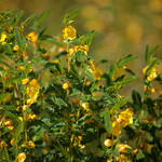 Showy Partridge Pea
