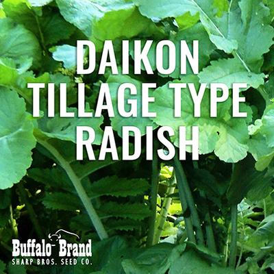 Daikon Tillage Type Radish