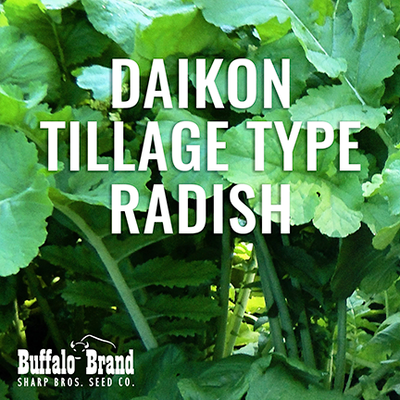 Daikon Tillage Type Radish