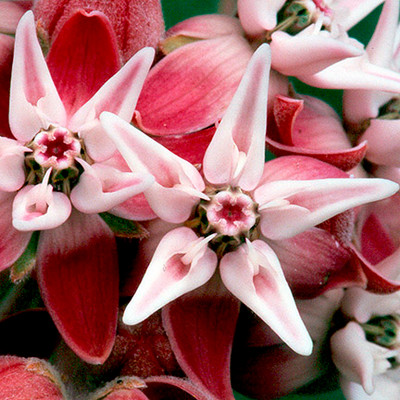 Showy Milkweed Credit: Bureau of Land Mang Or WA, via Flickr creative commons commercial use