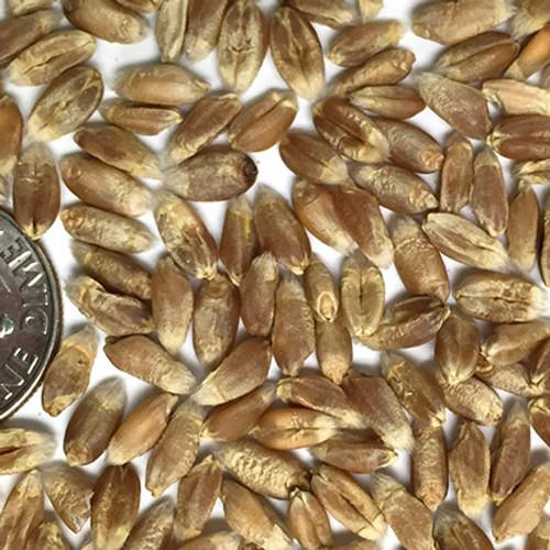 Wheat - Kanmark
