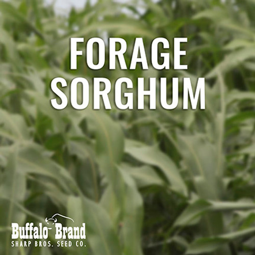 Forage Sorghum