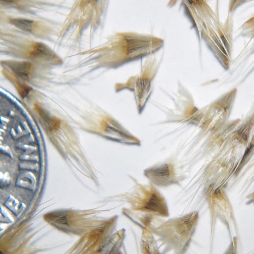 Blanketflower seed