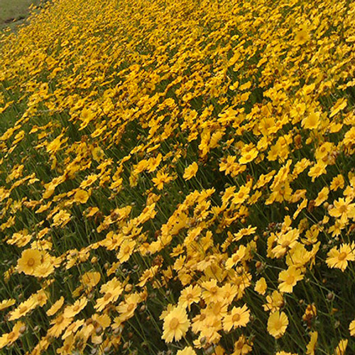 Lanceleaf Coreopsis via flickr commercial use, NCDOTCommunications