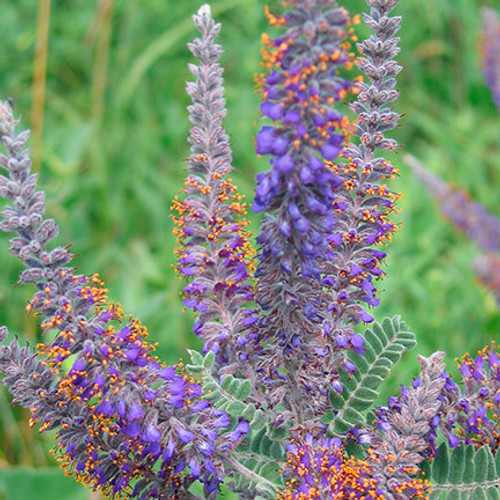 Leadplant  Credit: USFWS Mountain-Prairie, via Flickr creative commons commercial use