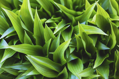 5 Spring Tips to Help Your Hosta Garden Thrive