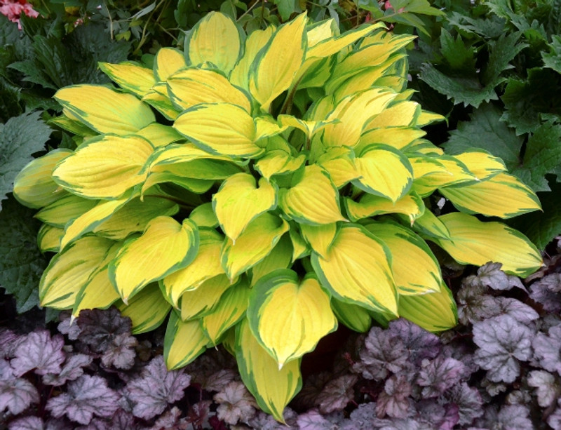 Hosta Island Breeze