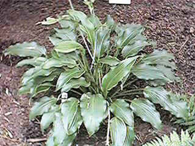Hosta Elvis Lives