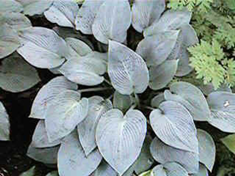 Hosta Blue Wedgwood