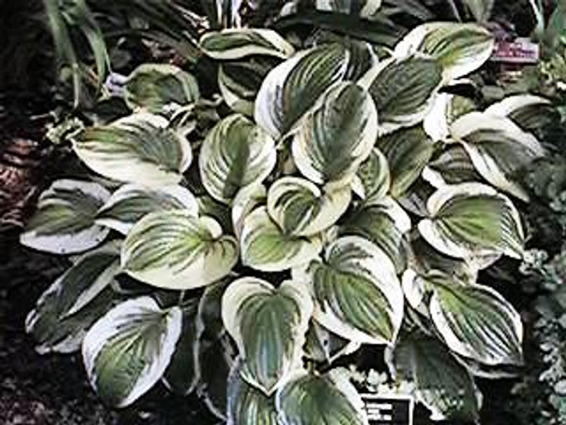Hosta Austin Dickinson