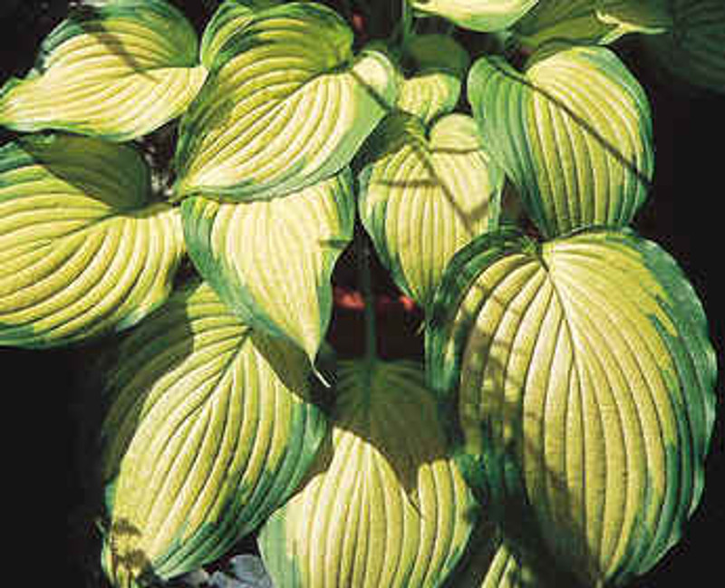 Hosta Summer Serenade