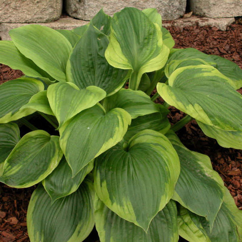 Hosta Sum of All