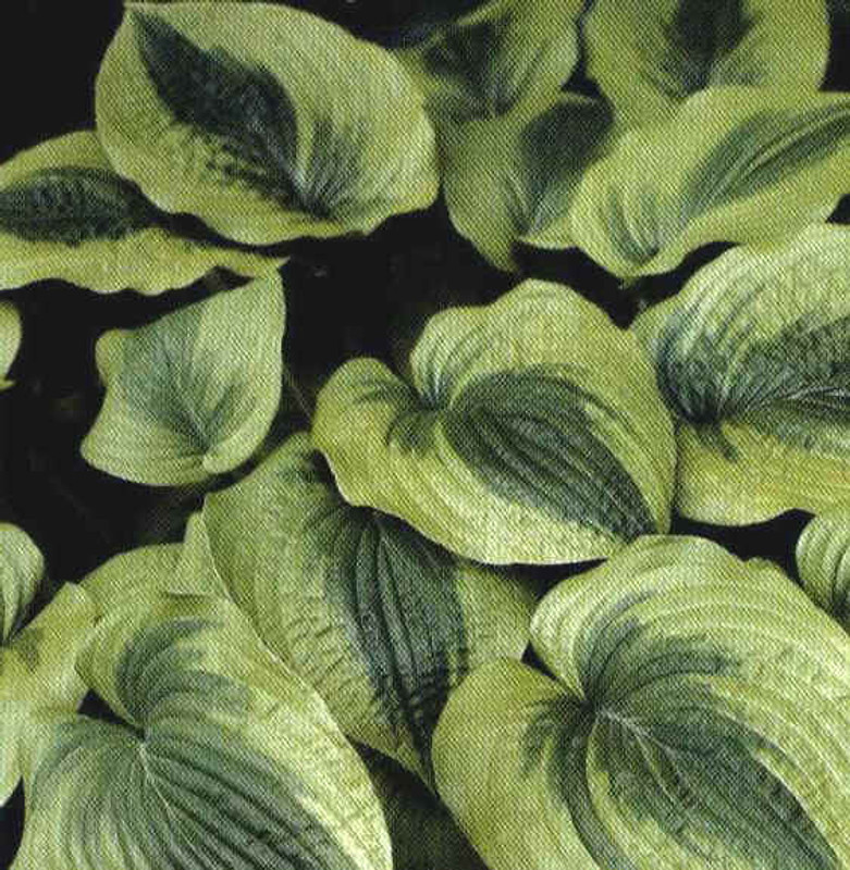 Hosta Royal Flush