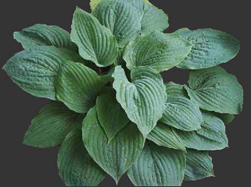 Hosta Riptide large green hosta with white back