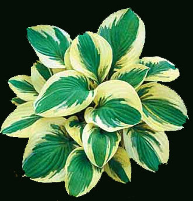 Hosta Pilgrim small hosta plant