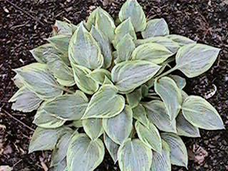 Hosta Peace - Small  Hosta