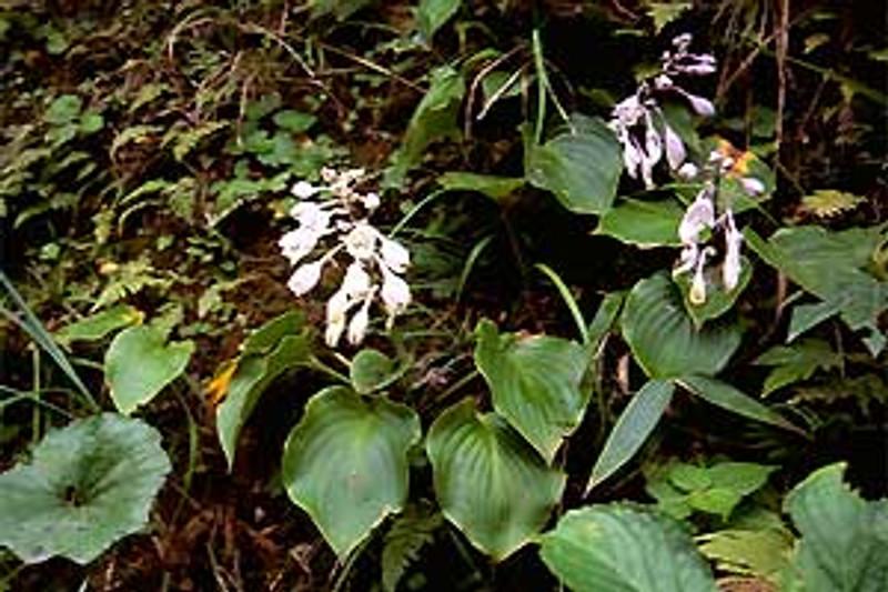 Hosta longipes var. Hypoglauca