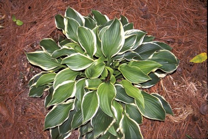 Hosta Lakeside Rocky Top
