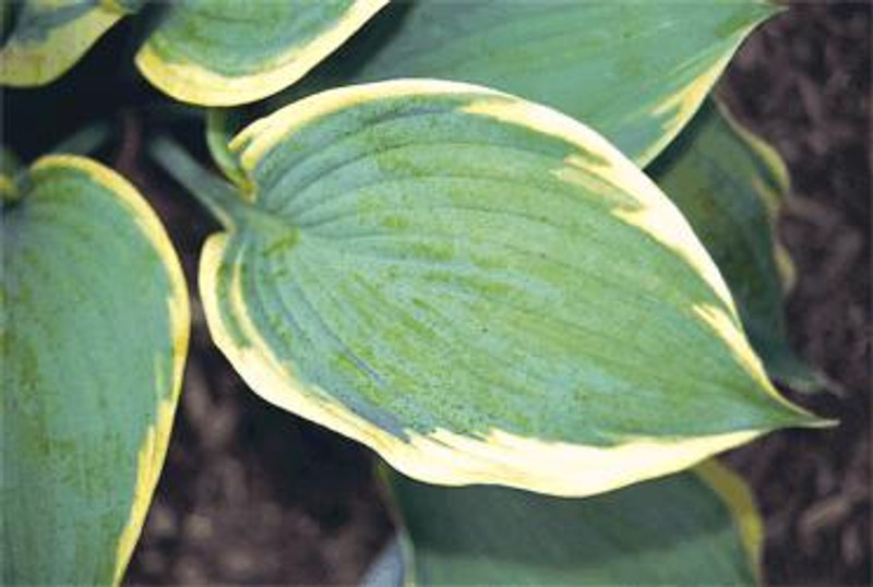 Hosta Jewel of the Nile