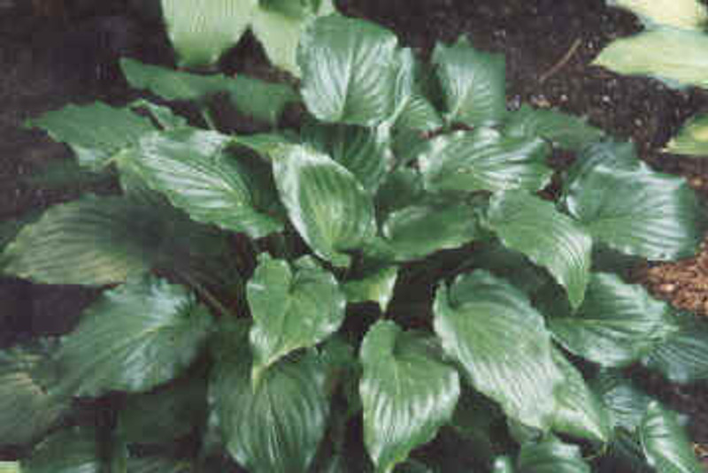 Hosta Invincible