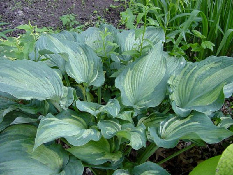 Hosta Guardian Angel